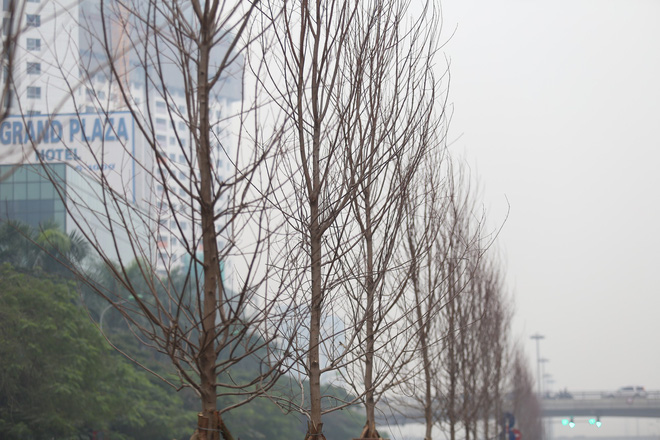 Cận cảnh cây phong lá đỏ mới được trồng trên đường phố Hà Nội - Ảnh 3.