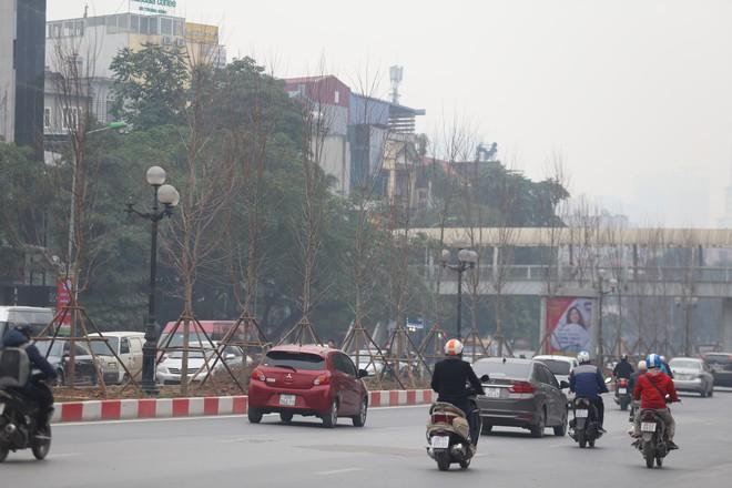 Cận cảnh cây phong lá đỏ mới được trồng trên đường phố Hà Nội - Ảnh 2.
