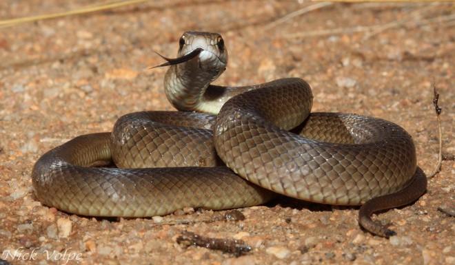 Rắn nâu cắn chết rắn hổ nhưng không thể ăn thịt đối thủ vì lý do không ngờ - Ảnh 4.