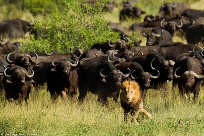 Trâu rừng tung đòn hiểm, sư tử đang yên ổn nằm ngủ thì hóa thọt chân - Ảnh 1.