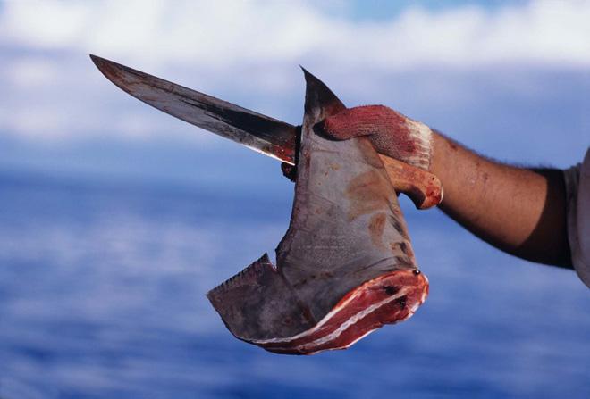 Đừng tưởng bạn đã biết: Vì sao vây cá mập phải phơi khô, và thường phơi trên trần nhà? - Ảnh 3.