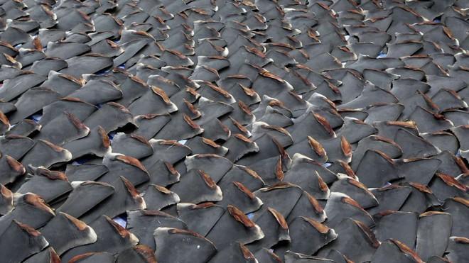 Đừng tưởng bạn đã biết: Vì sao vây cá mập phải phơi khô, và thường phơi trên trần nhà? - Ảnh 1.