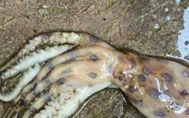Thông tin xuất hiện loài mực cực độc ở Phú Quốc là sai sự thật