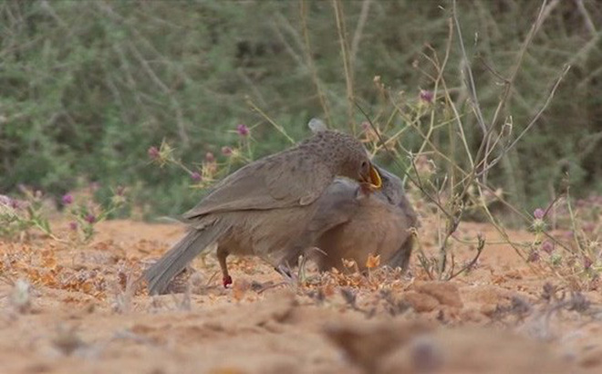 """Thế giới động vật: Bay hàng ngàn cây số tìm bạn đời, đây đích thị là loài chim """"điên tình"""" nhất thế giới"""