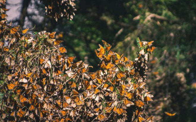 """Hàng trăm nghìn con bướm như hình đã """"bốc hơi"""" theo nghĩa đen chỉ trong vòng 1 năm qua và khoa học vẫn chưa hiểu tại sao"""