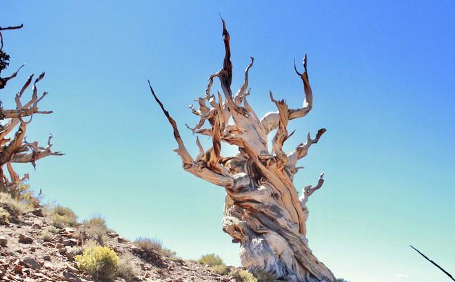 Kỳ lạ cây cổ thụ 5.000 năm, nhiều tuổi hơn kim tự tháp Ai Cập, vẫn sống khỏe