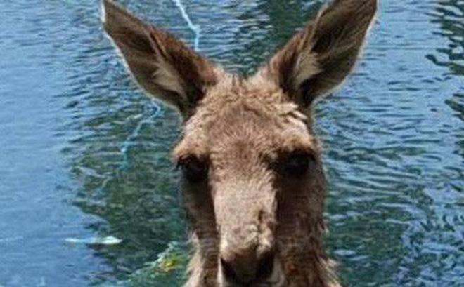 Quà Giáng sinh kiểu Úc: Gia đình đi chơi Noel về bỗng phát hiện có thêm con pet chuột túi lực lưỡng không hiểu ở đâu ra