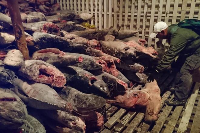 Vây cá mập đắt cỡ nào mà nhiều người TQ bất chấp tù tội để săn bắt, buôn bán? - Ảnh 1.