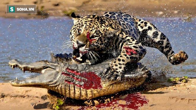 Có ý tốt cho cá sấu ăn chung, báo hoa mai nhận lại kết quả phũ phàng! - Ảnh 1.