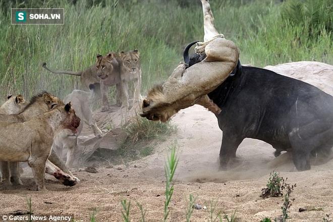 Ngôn tình thế giới động vật: Trâu đực liều chết cứu người tình khỏi vòng vây sư tử - Ảnh 1.