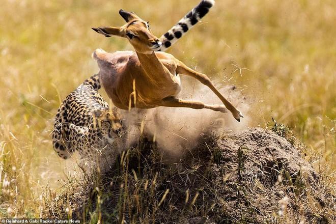 Đang chạy trốn thì vấp ngã, liệu linh dương có thoát khỏi đòn thù của báo săn? - Ảnh 2.