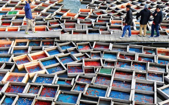 24h qua ảnh: Chợ đấu giá cá vàng ở Nhật Bản - Ảnh 3.