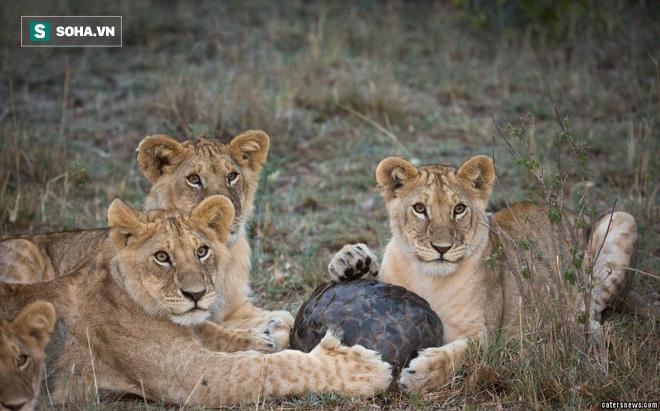 Đi tuần trong đêm, hướng dẫn viên bất ngờ trước cảnh bất lực của sư tử - Ảnh 3.