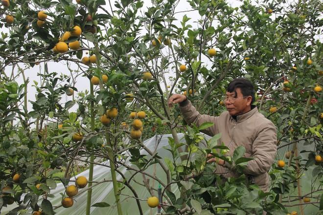Chuột phá mất cả chục triệu đồng mỗi đêm trong vườn cam quý tiến vua, nông dân bất lực - Ảnh 2.