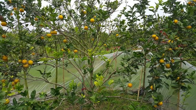 Chuột phá mất cả chục triệu đồng mỗi đêm trong vườn cam quý tiến vua, nông dân bất lực - Ảnh 1.