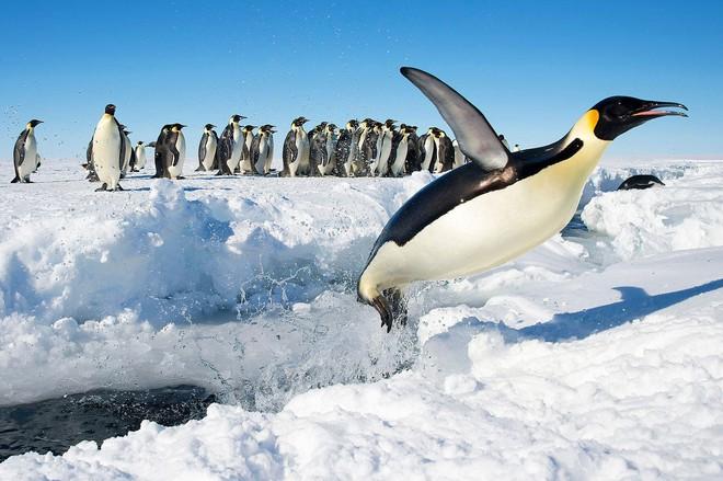 Cũng vẫn là chim nhưng sao cánh cụt lại không thể bay và chỉ biết bơi? - Ảnh 3.