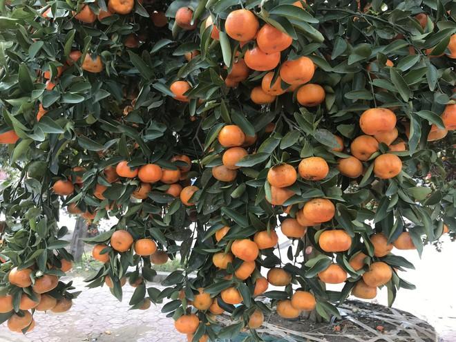 Cây quýt cổ thụ trồng trong rừng sâu, phải mất 5 ngày mới đưa được ra ngoài - Ảnh 6.