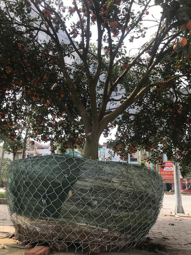 Cây quýt cổ thụ trồng trong rừng sâu, phải mất 5 ngày mới đưa được ra ngoài - Ảnh 10.