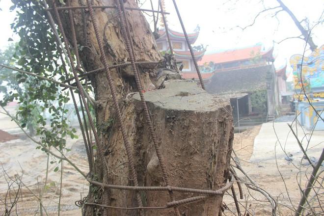 Cận cảnh cây sưa trăm tỷ đang chết dần chết mòn sắp được chặt hạ trước Tết Nguyên đán - Ảnh 8.