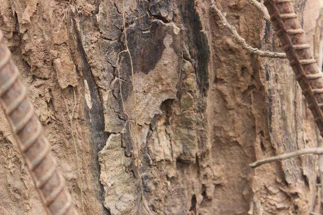 Cận cảnh cây sưa trăm tỷ đang chết dần chết mòn sắp được chặt hạ trước Tết Nguyên đán - Ảnh 7.