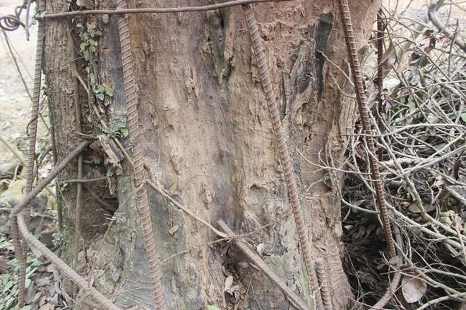 Cận cảnh cây sưa trăm tỷ đang chết dần chết mòn sắp được chặt hạ trước Tết Nguyên đán - Ảnh 5.