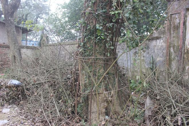 Cận cảnh cây sưa trăm tỷ đang chết dần chết mòn sắp được chặt hạ trước Tết Nguyên đán - Ảnh 4.
