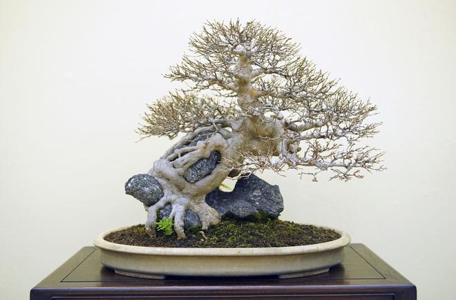 Tuyệt tác bonsai Nhật giá cắt cổ 3,8 tỷ đồng trông như thế nào? - Ảnh 11.