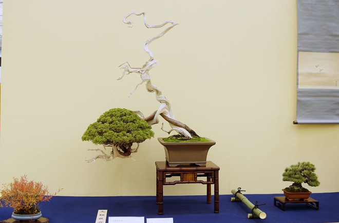 Tuyệt tác bonsai Nhật giá cắt cổ 3,8 tỷ đồng trông như thế nào? - Ảnh 13.
