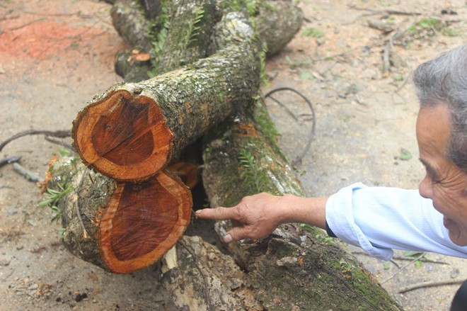 Đang chặt cây sưa trăm tỷ từng gây lùm xùm suốt 8 năm ở Hà Nội - Ảnh 8.