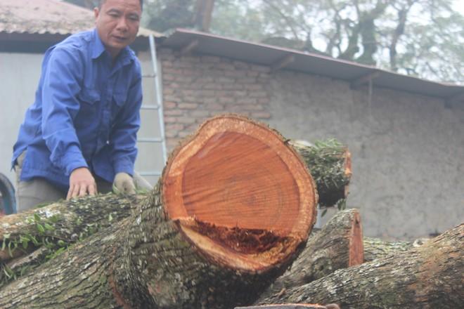 Đang chặt cây sưa trăm tỷ từng gây lùm xùm suốt 8 năm ở Hà Nội - Ảnh 10.