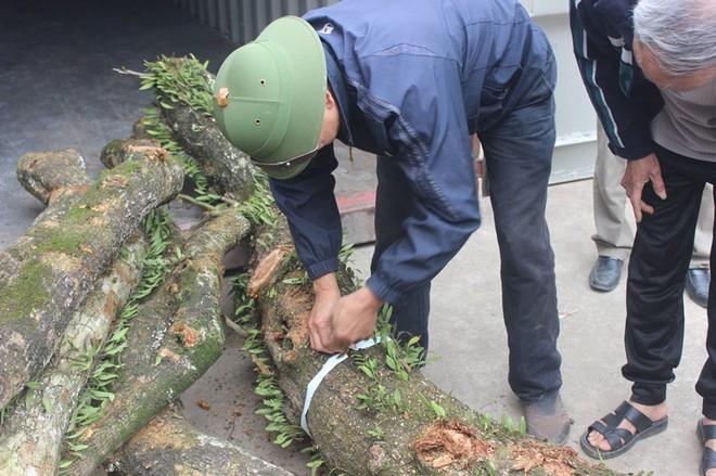 Đang chặt cây sưa trăm tỷ từng gây lùm xùm suốt 8 năm ở Hà Nội - Ảnh 11.