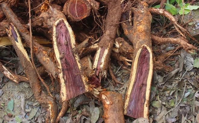 """Chặt cây sưa trăm tỷ ở Hà Nội: """"Chẻ đôi khúc rễ, dân làng mất ngay chục tấn thóc"""""""