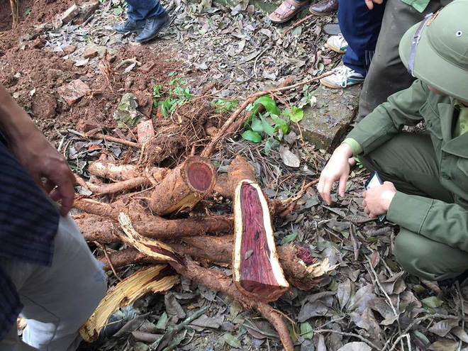 Chặt cây sưa trăm tỷ ở Hà Nội: Chẻ đôi khúc rễ, dân làng mất ngay chục tấn thóc - Ảnh 3.