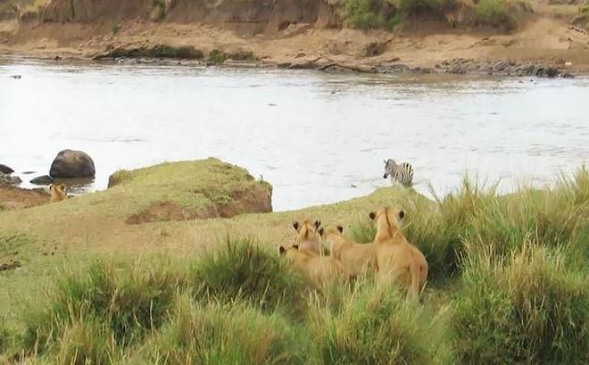 VIDEO: Vượt sông bất cẩn, ngựa vằn suýt bị sư tử giết hại