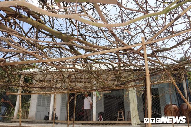 Mục sở thị cụ mai có tán phủ tròn hơn 50 mét vuông ở miền Tây - Ảnh 3.