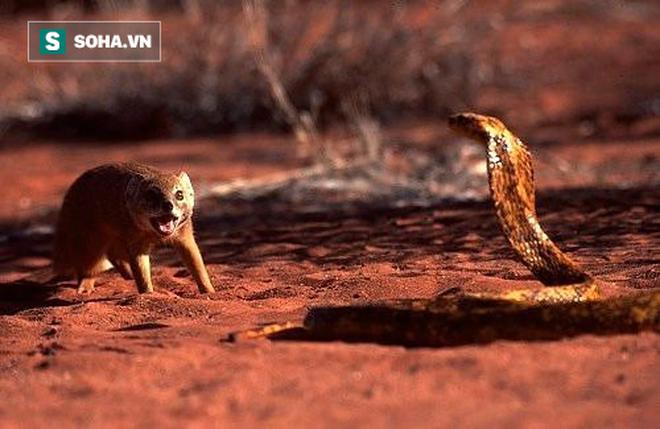 Hổ mang liên tục gặp 2 khắc tinh giữa sa mạc: Cú cắn bất ngờ quyết định cục diện! - Ảnh 1.