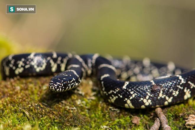 Đúng lúc cuộc chiến với trăn mốc sắp đến hồi kết, rắn vua có hành động làm con mồi bất ngờ - Ảnh 1.