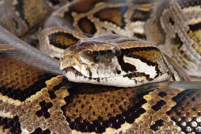 Đúng lúc cuộc chiến với trăn mốc sắp đến hồi kết, rắn vua có hành động làm con mồi bất ngờ - Ảnh 2.