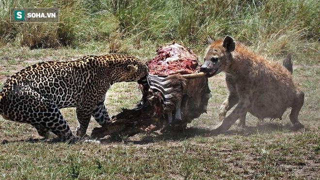 Báo hoa mai đang giành thức ăn với linh cẩu thì kẻ thứ 3 xuất hiện - Ảnh 1.