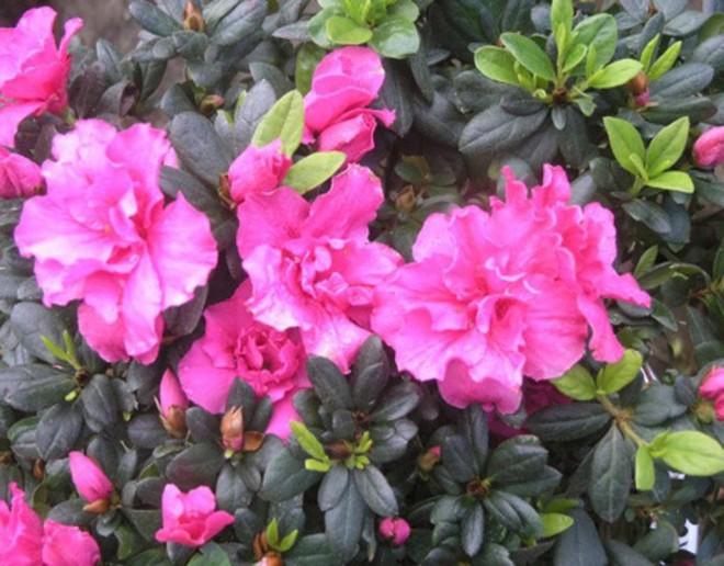10 loại hoa mang lại may mắn, tài lộc ngày Tết - Ảnh 10.