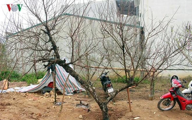 Ảnh: Nhộn nhịp bán mua đào rừng đón Tết ở Sơn La - Ảnh 12.