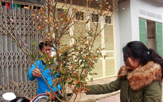 Ảnh: Nhộn nhịp bán mua đào rừng đón Tết ở Sơn La - Ảnh 14.