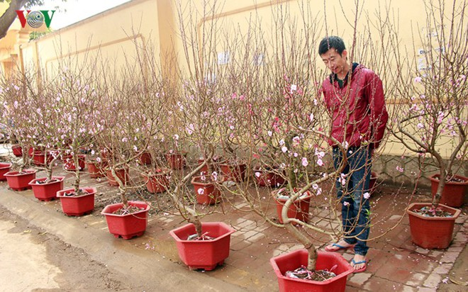 Ảnh: Nhộn nhịp bán mua đào rừng đón Tết ở Sơn La - Ảnh 16.