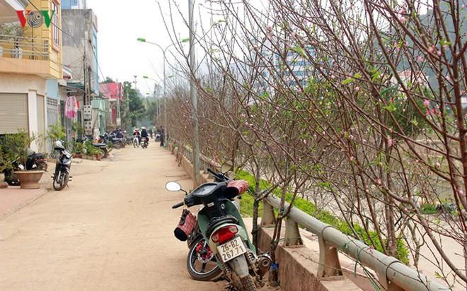 Ảnh: Nhộn nhịp bán mua đào rừng đón Tết ở Sơn La - Ảnh 3.