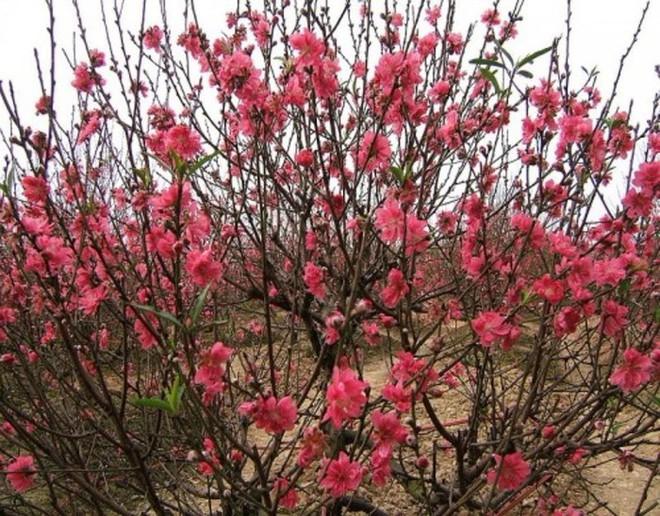 10 loại hoa mang lại may mắn, tài lộc ngày Tết - Ảnh 2.