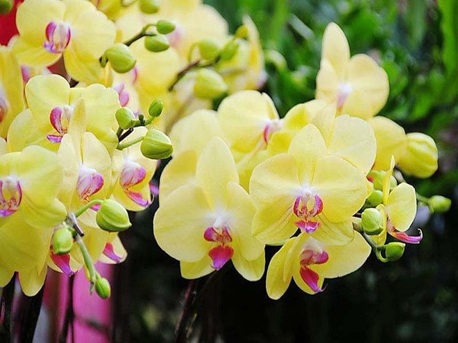 10 loại hoa mang lại may mắn, tài lộc ngày Tết - Ảnh 3.