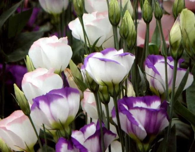 10 loại hoa mang lại may mắn, tài lộc ngày Tết - Ảnh 6.