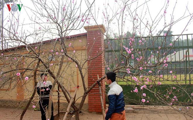 Ảnh: Nhộn nhịp bán mua đào rừng đón Tết ở Sơn La - Ảnh 8.