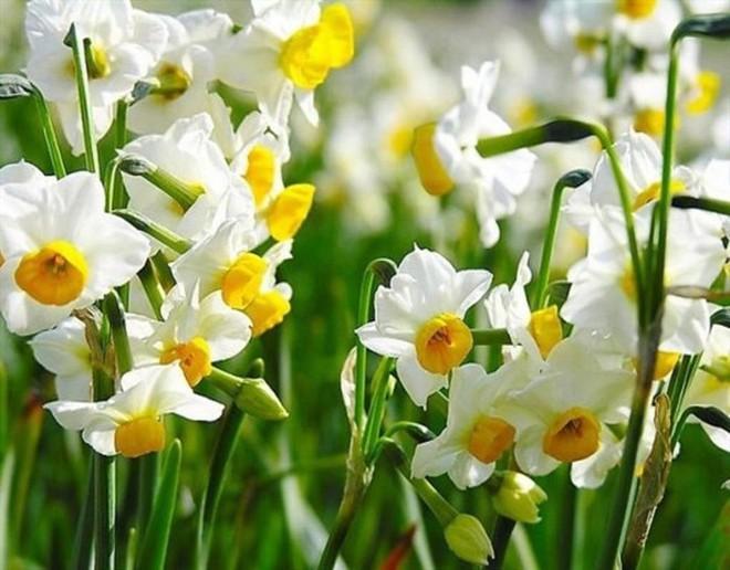 10 loại hoa mang lại may mắn, tài lộc ngày Tết - Ảnh 8.