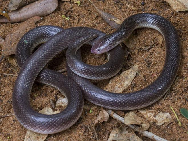 Loài rắn kịch độc có răng nanh thò thụt như dao găm: Cơn ác mộng chui lên từ dưới đất - Ảnh 3.